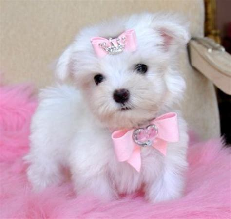 free puppies for adoption free havanese puppies for adoption teacup maltese puppy for free adoption picture