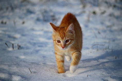 wann werden katzen rollig ab wann frieren katzen 6 tipps zum erkennen w 228 rmen