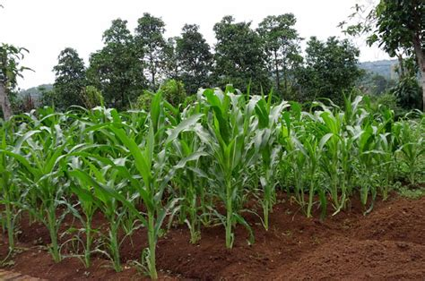 Harga Benih Jagung Manis Di Malaysia kiat sukses budidaya jagung manis organik alam tani