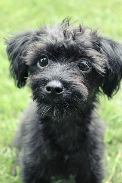 small yorkie poo yorkie poo ccbell3 creatures great small