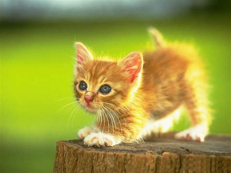 cat kitten wallpaper kittens wallpapers pets cute and docile