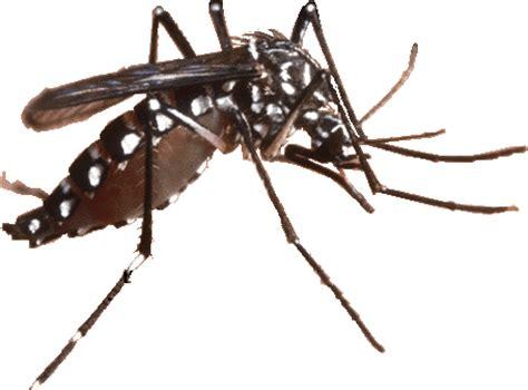 Gambar Dan Raket Nyamuk jenis nyamuk yang berbahaya biru dan hitam