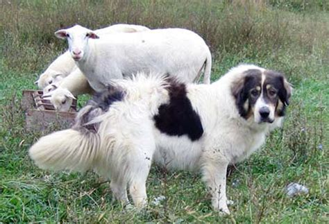 livestock guardian breeds all about karakachan livestock guardian dogs countryside network