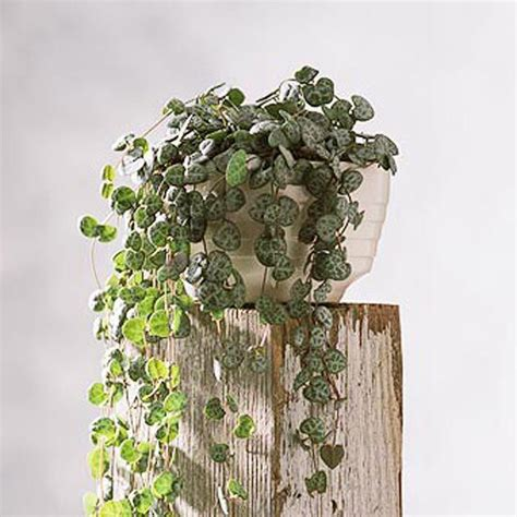 low light hanging plants indoors houseplants you can t kill hanging baskets flower and