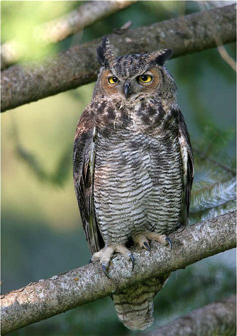 look for great horned owls in alabama shelby county reporter