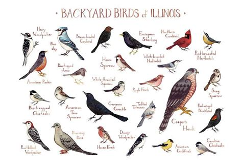 illinois backyard birds field guide art print kate