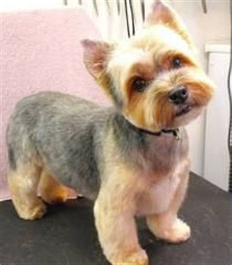 yorkie hair cut chart gallery for gt cute short yorkie haircuts