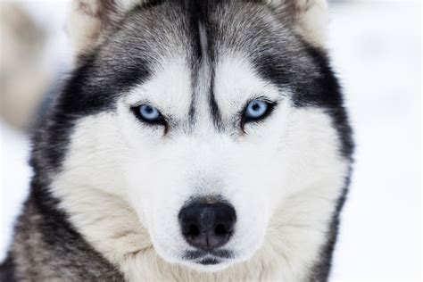 how for puppies husky free photo iso republic