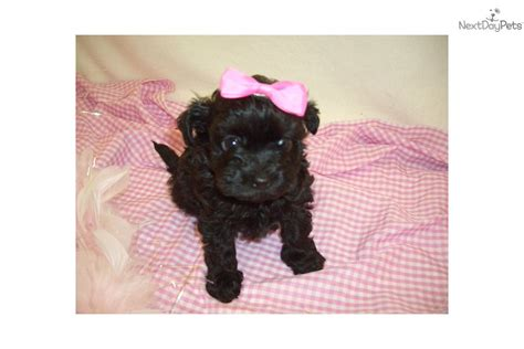 chi poo puppies for sale chi poo puppies for sale images frompo