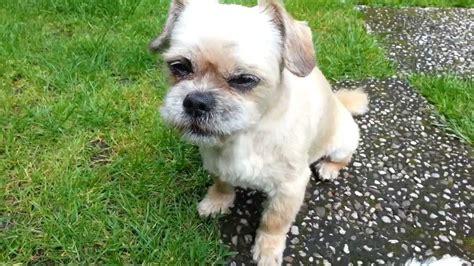 shih tzu west highland terrier mix shih tzu chiwawa mix und conny west highland white terrier im garten