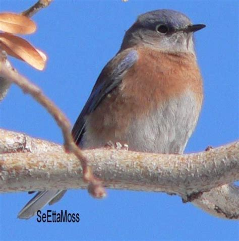 17 best images about eastern bluebird sialia sialis on