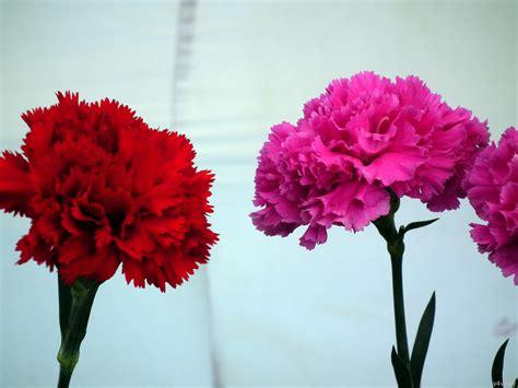 Flower Sg - two carnation flowers 171 wallpaper tadka