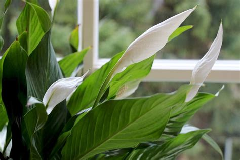 Einblatt Pflege Tipps by Einblatt So Pflegen Sie Die Beliebte Zimmerpflanze Mit