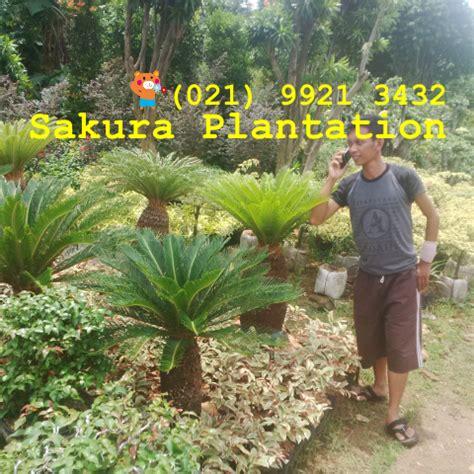 Jual Bibit Rumput Gajah Di Bogor tukang taman bibit rumput vetiver biji rumput jasa