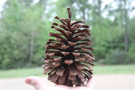 giant large pine cones from louisiana long leaf pines 12pc