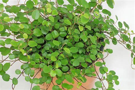 100 indoor vine plants home accessories natural
