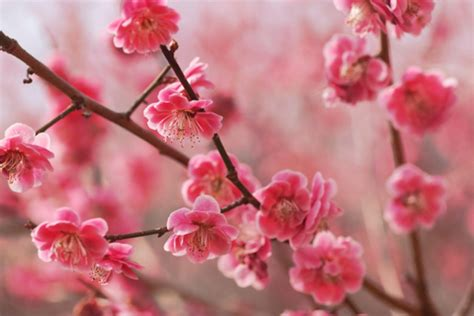 new year blossom meaning new year cherry blossom meaning 28 images happy new