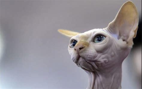 Sphynx Cat Meme - sphynx cat breed memes