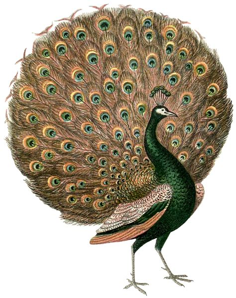 gorgeous vintage peacock images the graphics fairy