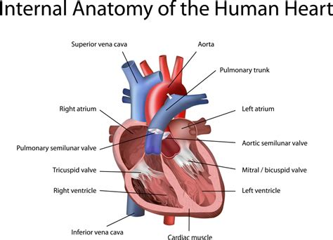 the heart and the the anatomy of the heart human anatomy diagram