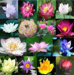 Buy Lotus Plant Flower Pots Planters Lotus Seeds Aquatic Plants Blossom
