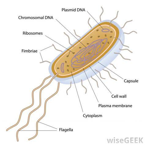 diagram of flagella what are flagella quora