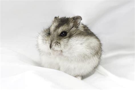 Vitamin Hamster Mino robo hamster pictures