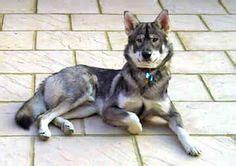 utonagan puppies for sale utonagan puppies for sale search utonagon