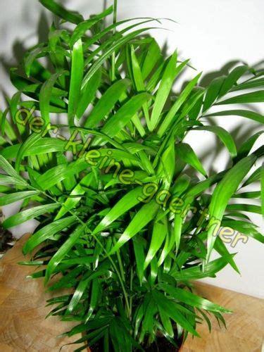 Chamaedorea Elegans Kaufen 1582 by Palmen Bambus Bananen Exoten Samen Bestellen Kaufen