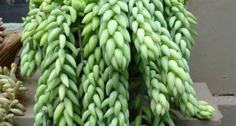 foto piante grasse fiorite piante grasse pendenti le piante grasse piante grasse