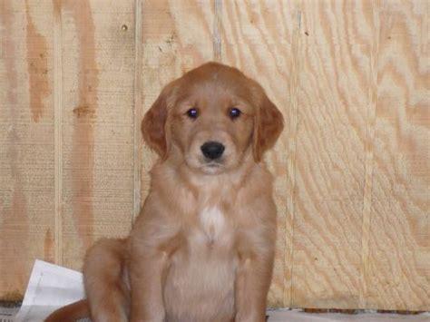 golden retriever puppies in mn golden retriever puppies mn logos wallpapers
