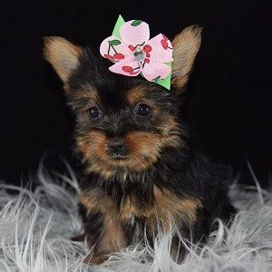 yorkies for sale 200 yorkie puppy for sale yelena puppies for sale in pa md va dc