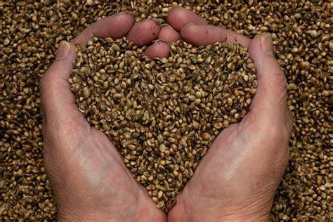 semi di canapa propriet 224 e come utilizzarli cure