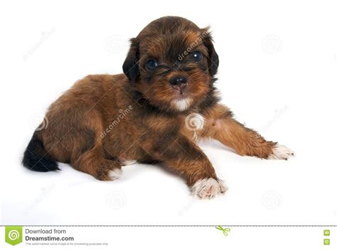 looking for free puppies shisu puppy looking royalty free stock photos image 14932198