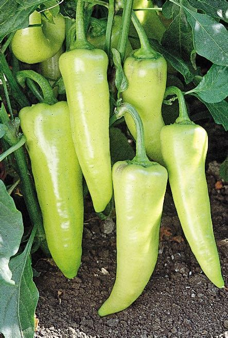 Sweet Banana pageant sweet banana hybrid pepper seeds non gmo seeds