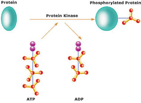 creatine phosphate definition kinase wikip 233 dia