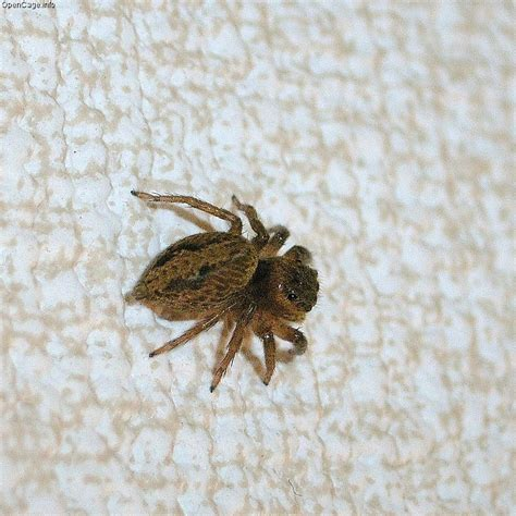 jumping house spiders jumping house spiders 28 images small quot house quot jumping spider 1 flickr