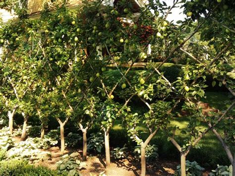 pear espalier trees creating a fence gardens trees and