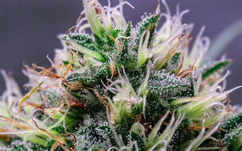 marijuana trichomes how to grow weed hydroponically for beginners a step by
