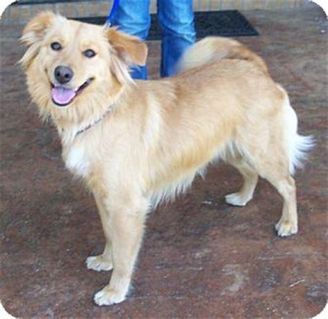golden retriever puppies huntsville al golden retriever spitz unknown type medium mix for adoption in huntsville