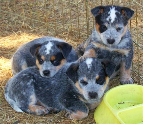heeler puppies for sale blue heeler puppies for sale blue heeler breeders bertonqh