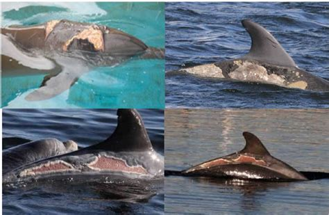 boat pox pictures synopsis on the most common pathologies of dolphins