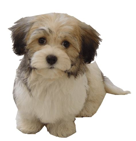 los perritos havanese retired dogs at bug havanese