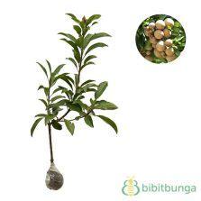 Bibit Tanaman Kenitu Genitu Ungu tanaman kenitu sawo durian bibitbunga