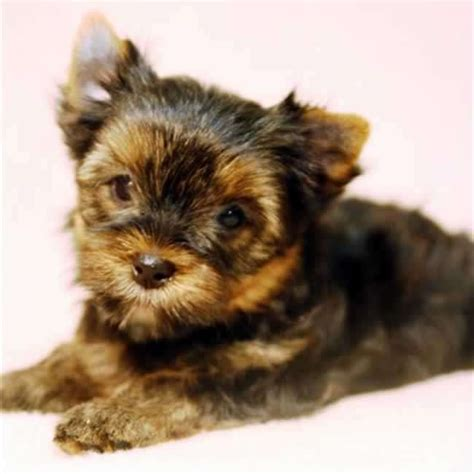 teacup yorkie grown for sale teacup terrier for sale gloria teacup yorkies sale