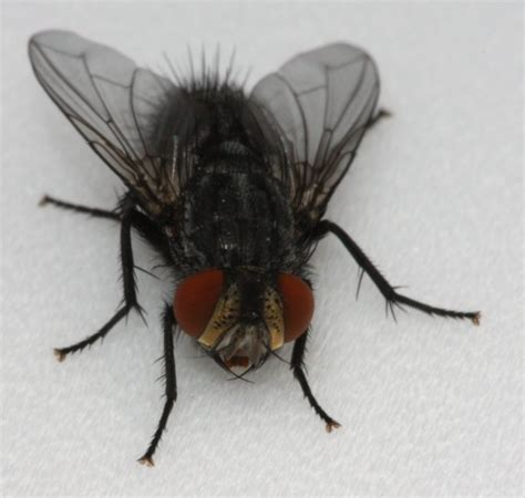what do house flies eat a cecropia tragedy the backyard arthropod project