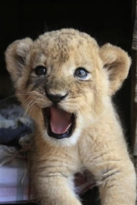 cubs newborn fan club adorable lion cub lion cubs photo 37858605 fanpop
