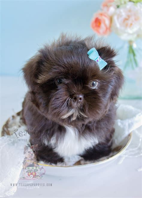 shih tzu puppies for sale in shih tzu puppy for sale in south florida breeds picture