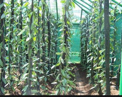 Bibit Vanili 1 cara budidaya tanaman vanili gerak maju pertanian