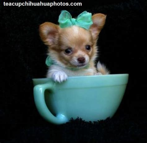 haired chihuahua puppy hair chihuahua puppies for sale auto design tech